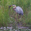 "Great Blue Heron catching a  ""mud cat, "" ""horned pout, "" ""hornpout, ""Mud pout, Ameiurus nebulosus, brown bullhead, catfish, Horn Pout, Hornpout, fresh water fish, Phippsburg, Maine June"