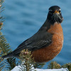 North American robin, male facing forward, perched in double balsam with snow, winter, Phippsburg Maine