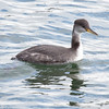 Horned Grebe a diving bird, Totman Cove, Phippsburg, Maine winter bird with food