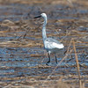 Possible immature Little Blue Heron, April 15, 2015, Scarborough Marsh, Scarborough, Maine