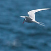 An Arctic Tern in flight, Matinicus Rock, Penobscot Bay, Maine June