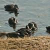 American Black ducks dabbling Phippsburg Maine