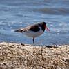 Oyster Catchers are uncommon shorebirds in Maine, tidal and beach habitat