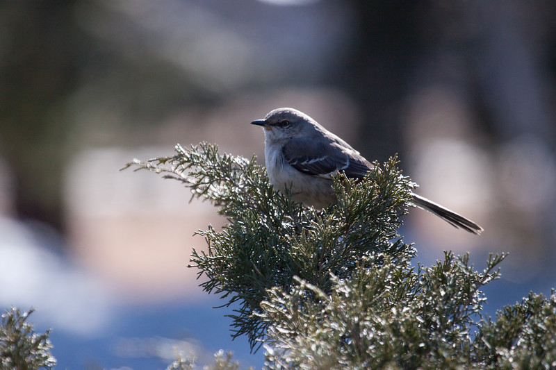 Northern Mockingbird, February, 2012, Brunswick Maine Maine, bird, nature, wildlife, photograph, photography