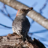 Red Bellied woodpeckers have only been showing up in Maine in winter months for a few years. They are insect eaters, or insectivores.