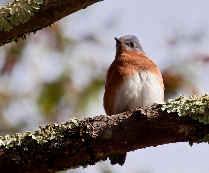 Eastern Bluebird, Phippsburg Maine October 30, 2011 Sebasco one of flock of 17