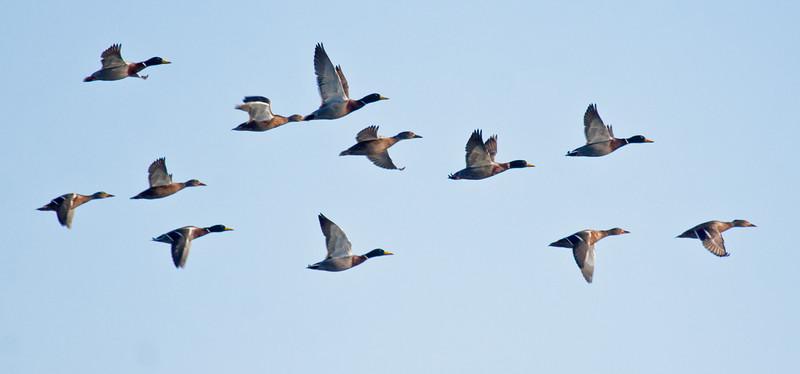 Mallard duck flock in flight, Phippsburg Maine