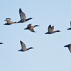 Mallard duck flock in flight, Phippsburg Maine