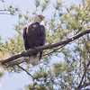 Bald eagle adult, perched in White Pine tree and vocalizing, Phippsburg Maine