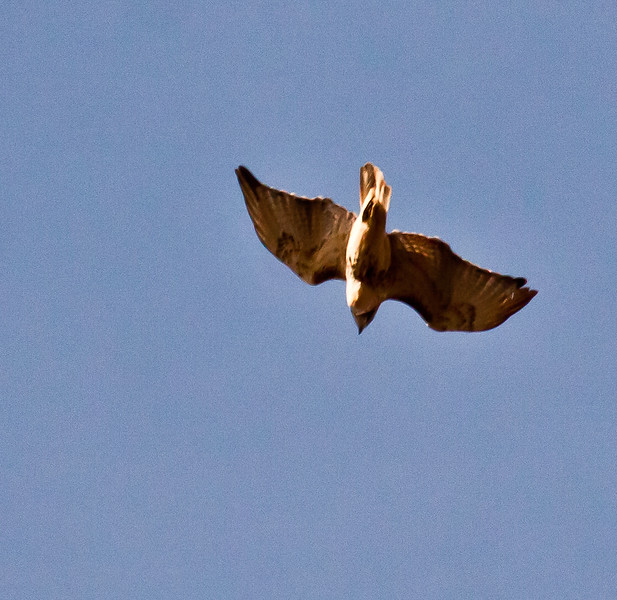 Red-tailed Hawk in flight, Phippsburg Maine November 2011
