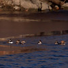 Hooded mergansers, one drake, six hens, PHippsburg Maine