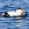 Common Atlantic eider eating a crab, Phippsburg, Maine Maine, bird, nature, wildlife, photograph, photography