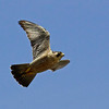 Peregrine falcon in flight, coastal Maine, Handcock county Maine, bird, nature, wildlife, photograph, photography