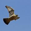Peregrine falcon in flight, coastal Maine, Handcock county Maine, bird, nature, wildlife, photograph, photography