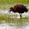 Glossy Ibis swallowing a worm. YUK! Phippsburg Maine Maine, bird, nature, wildlife, photograph, photography