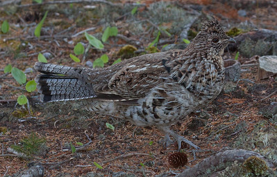 Ruffed Grouse, Bonasa umbellus in Phippsburg, Maine May 2013