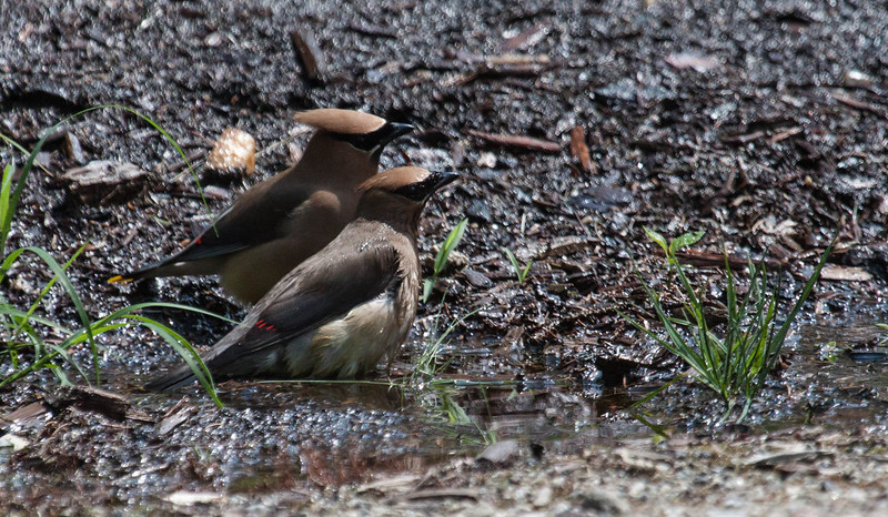 It was 88 degrees the day this photo was taken; hot for Maine. The birds were enjoying a bath in water from a lawn sprinkler.