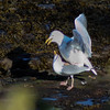 Herring Gulls mating, a spring behavior. This pair of birds lives on my pier in Phippsburg, Maine