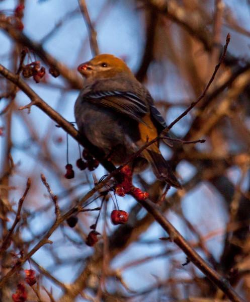 Pine Grosbeak, female eating crab apple, Thomaston, Maine, left facing, perched