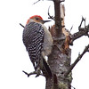 Red Bellied woodpecker, male on spruce snag, Phippsburg Maine Maine, bird, nature, wildlife, photograph, photography