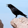 American crow perched on rock, vocalizing, large black bird, side view close up, Maine