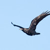 Common Raven in flight, Phippsburg, Maine a migratory bird
