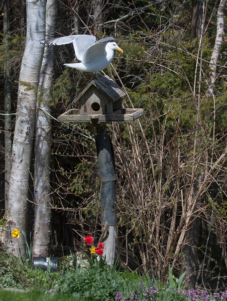 I feed the birds all year round. I love feeding them because I love seeing them. I also like to think I'm helping out a little to preserve species by giving them a helping hand. Sometimes though, I have to be careful what I ask for. Herring Gull on bird feeder, Phippsburg, Maine