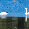 Mute Swan pair, Winnegance, between Bath and Phippsburg Maine, October 10, 2014