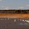 Tundra Swans, flock, native species in spring migration, Northern Pintail ducks in foreground, salt marsh habitat