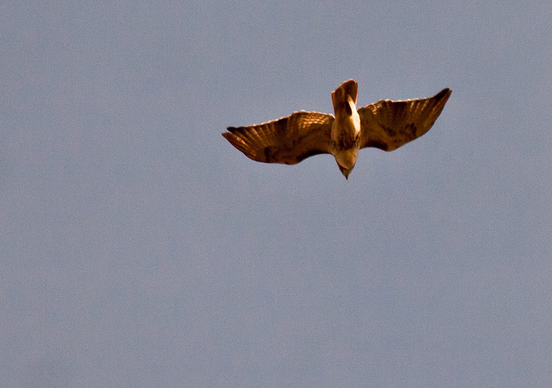 Red-tailed hawk in flight, Phippsburg Maine Small Point November 2011