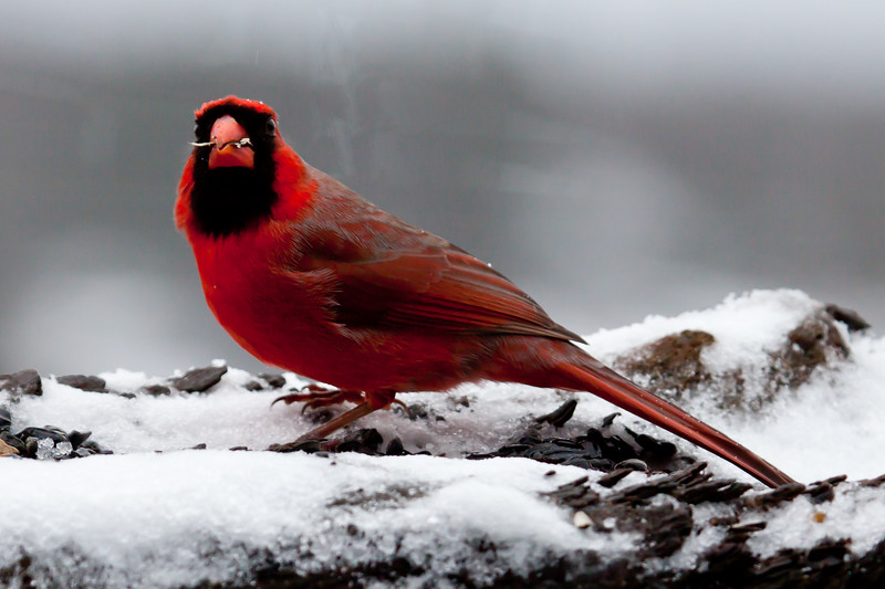 brilliant red male Northern Cardinal in snow with seed, close up