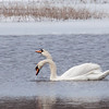 Mute Swans were introduced into the United States from Europe in the early 1800s. They are beautiful, but very aggressive birds. The compete heavily with native species of birds for habitat.