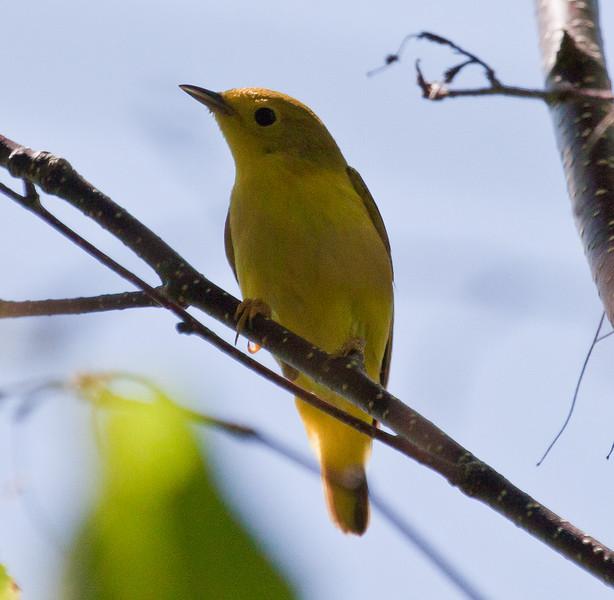 Female Yellow warbler, Phippsburg Maine Maine, bird, nature, wildlife, photograph, photography