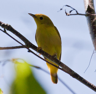 Female Yellow warbler, Phippsburg Maine Maine, bird, nature, wildlife, photograph, photography