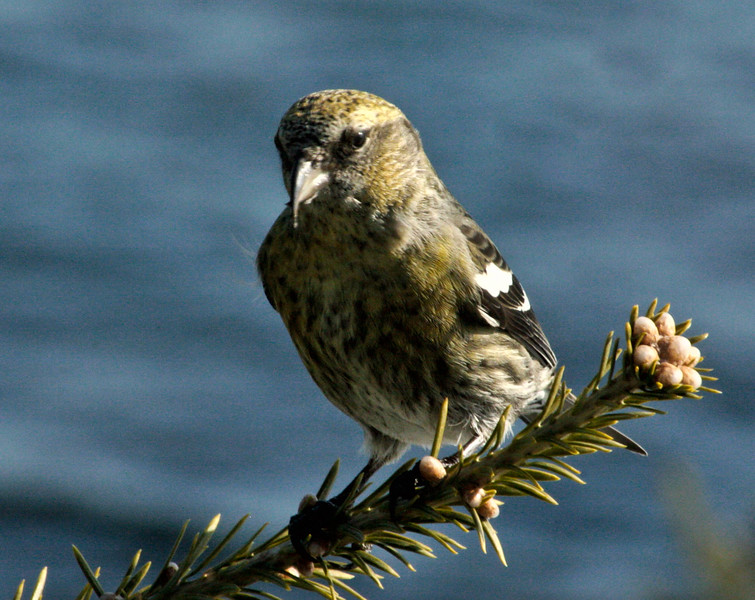 White Winged crossbill, female, perched on Balsam tip, Phippsburg, Maine winter