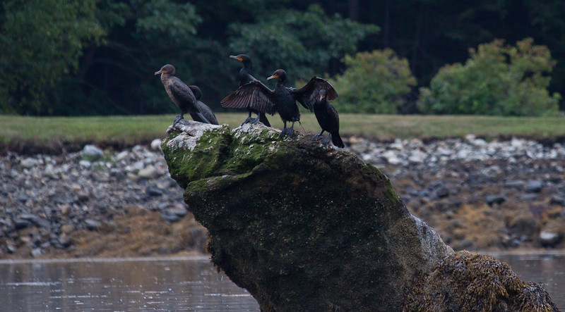 "Double-crested cormorant flock, wing drying on rocks, The Branch, Small Point Harbor, Phippsburg, Maine summer. Also called ""Shags."" Maine, bird, nature, wildlife, photograph, photography"