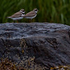 Semi-palmated plover pair perched on wet rocks with barnacles and sea weed, Phippsburg, Maine coastal migratory shorebirds Maine, bird, nature, wildlife, photograph, photography