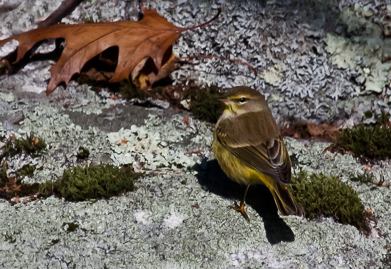 Palm Warbler, non breeding plumage, late migrant, Phippsburg Maine November 5, 2011