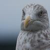 Herring gull close up, immature bird with brown, neck streaking, Phippsburg, Maine November