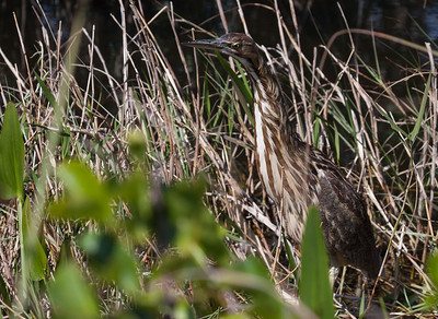The American Bittern , Botaurus lentiginosus,foraging in wetlands. This bird is migratory in Maine. They need open water to forage for food. Unlike other herons, they walk slowly around in dense marsh grass. Other herons favor more open growth. When a bittern is alerted, it raises its head and neck straight into the air and freezes then slightly weaves its neck back and forth. It is believed this is to mimic the waving of tall marsh grass making them less visible to predators. The American Bittern gets its nicknames from its call:  stake-driver, thunder-pumper, and mire-drum. American Bitterns are summer birds in Maine.