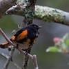 American Redstart, male in spring courtship display, May, Phippsburg, Maine, brilliant orange  bird