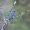 male Eastern Bluebird perched in branches, right facing, October, autumn migration, Phippsburg, Maine