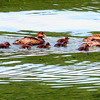 Common eider hens with chicks, Phippsburg Maine Maine, bird, nature, wildlife, photograph, photography