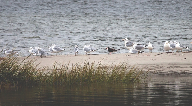 Black skimmer with Ring-billed gulls, Phippsburg Maine
