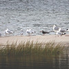 Black skimmer with Ring-billed gulls, Phippsburg Maine