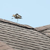 This was the first Pacific Golden Plover that I had ever seen. They seemed to really like the roof tops of the house in Pukulani, Maui.
