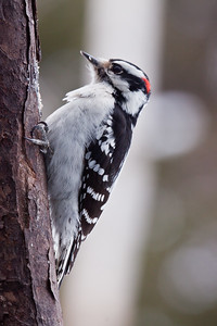 Downy woodpecker, male on suet log, Phippsburg Maine Maine, bird, nature, wildlife, photograph, photography