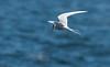 An Arctic Tern in flight, Matinicus Rock, Penobscot Bay, Maine June