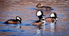 Hooded Merganser Drakes and Hen, Breeding Plumage, bird in the middle is neck pumping, a courting display
