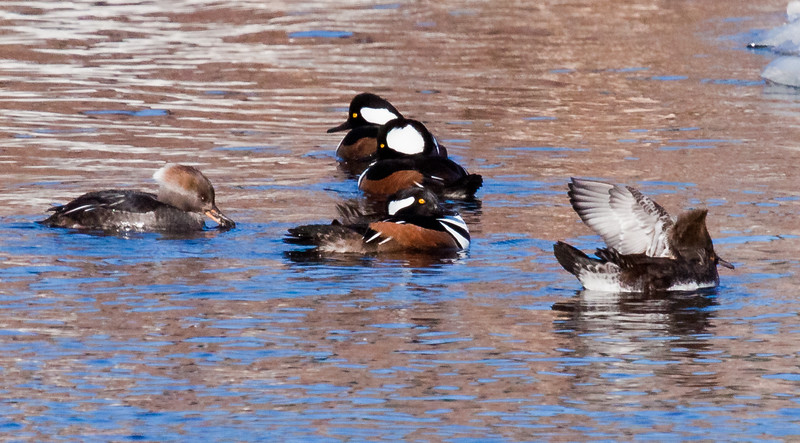 Hooded Merganser Hens And Drakes, Breeding Plumage